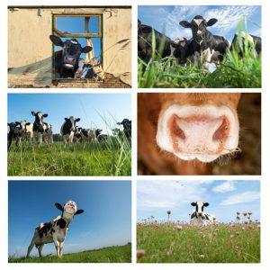 Bâche déco Vache 90*130 cm